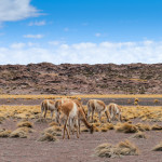 Vicunas at 4000m altitude